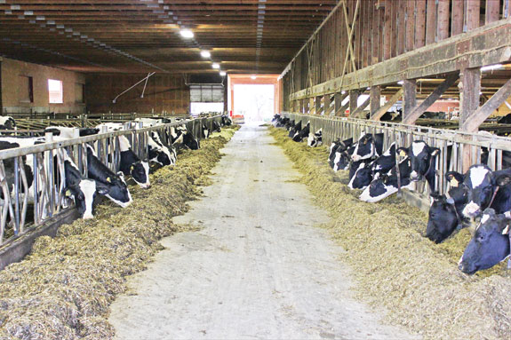 Automated cow feeder