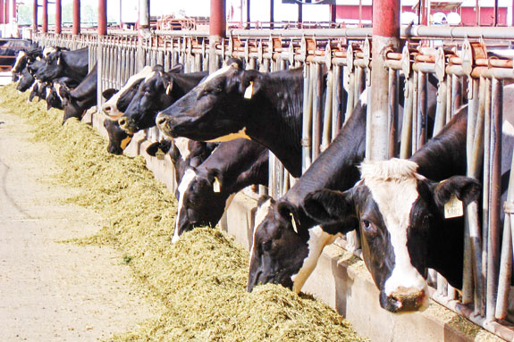 cows at feed bunk