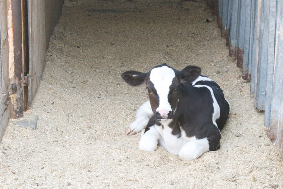 Calf starter: The ultimate functional feed - Progressive Dairy