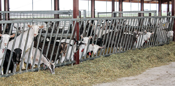 La Clare Farms Finds Niche With Dairy Goats Champion Cheese