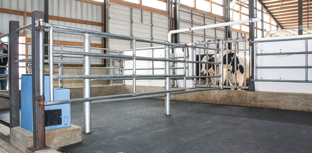 Maternity Pens Have Two Wisconsin Dairies Calving With