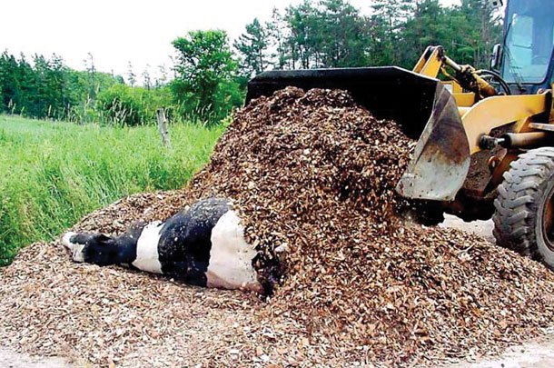 composting dead cow