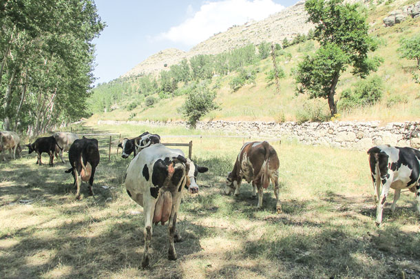 cows in Lebanon