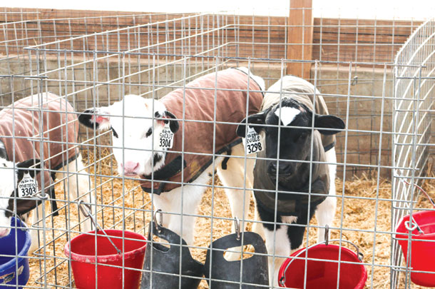 Feeding calves: It's not just what's in the pail - Progressive Dairy