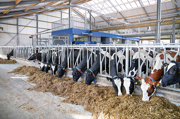 More and more large dairies are adopting robotic milking