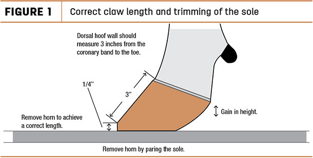 Correct claw lenght and trimming of the sole