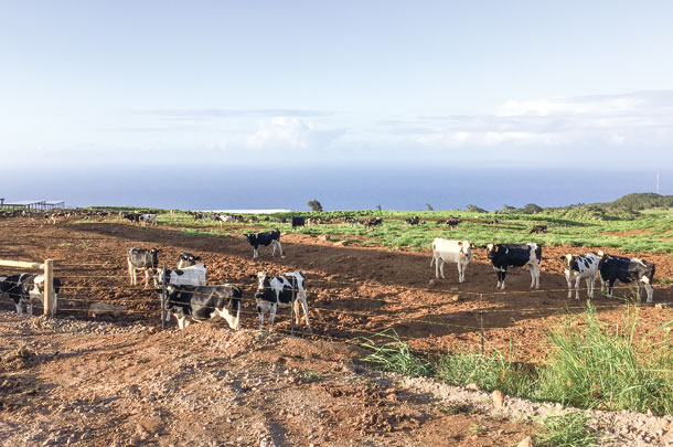 Tropical climate of the island provides year-round pasture for the dairy heifers.