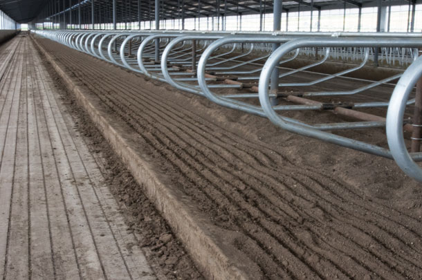 Concrete flooring for dairy cows