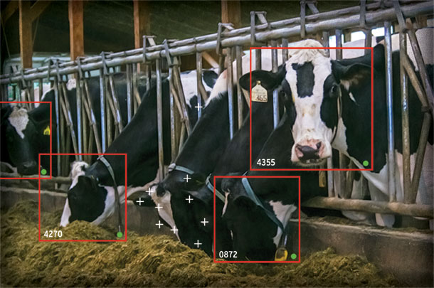 video image shows how long a cow is eating