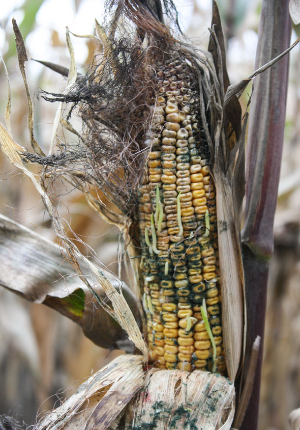 moldy corn on stalk