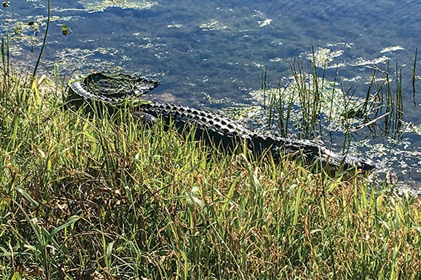 Wetlands is a natural habitat for alligators and many other animal and plant species