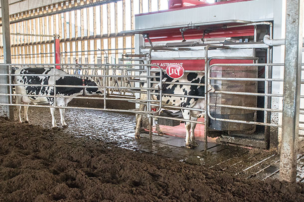 Cows at the robot milker