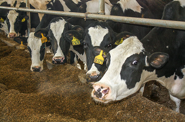 With careful management, some dairies are able to maintain high levels of production despite overcrowding.