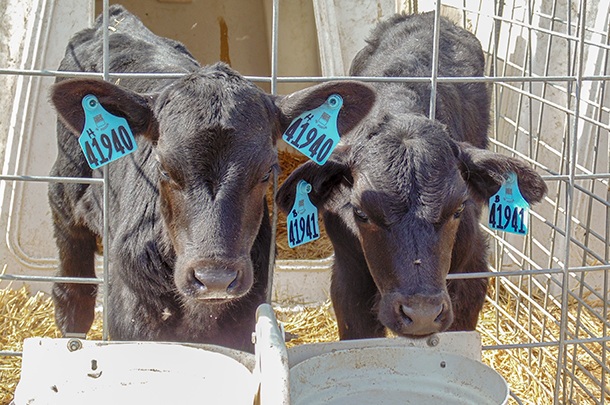 Treat calves destined for the beef market with the same quality of care as a replacement heifer calf.