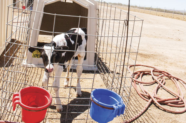 Calves will be rinsed off if they are struggling with the heat