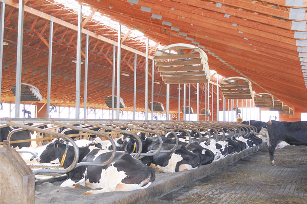 Cows housed in a comfortable environment